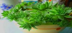 观音莲如何养植  观音莲有啥作用 观音莲有没有毒