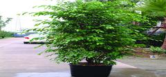 办公室什么植物防辐射最好