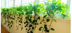 绿萝怎么养? 叶子发黄了怎么办有毒吗  绿萝的养殖方法和注意事项