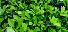 如何养护家居绿植?