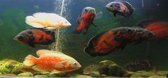 地图鱼怎么养?地图鱼常见病有哪些?