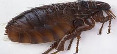 宠物身上跳蚤咬了怎么办?跳蚤咬了有啥症状?如何消灭跳蚤?