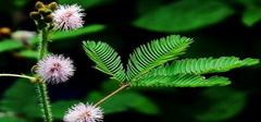 含羞草养殖方法及注意事项?含羞草有毒吗?