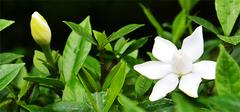 家中养栀子花会有毒害吗?