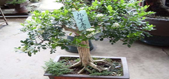 九里香花,九里香盆栽,九里香养护