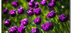 郁金香的种植培养方法