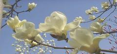 木兰花有什么寓意?木兰花花语是什么?