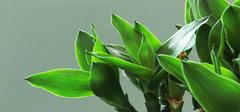 土培富贵竹方法