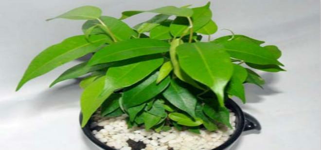 你会养垂叶榕么, 垂叶榕的养殖方式你造么?