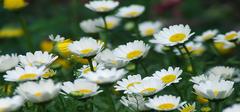 注意!此时你要知道白菊花的功效和作用