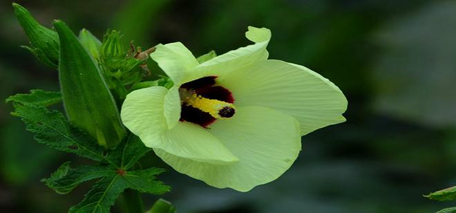 种植黄秋葵困难吗,为什么价格这么高