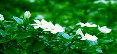 关于栀子花的养殖和注意事项