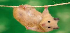 萌萌的小仓鼠 你知道多少?