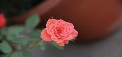 蔷薇的栽培技术