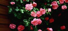 蔷薇的价值你知道多少