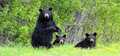 养宠物狗发现是黑熊 爱狗之心却成违法