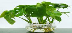 为家居添生机 水培植物养殖方法