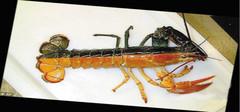 美国捕获双色龙虾  想看的朋友不要错过呦