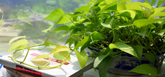 绿萝怎么养,绿萝的养殖方法和注意事项有哪些?