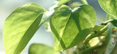 如何去养殖绿萝及其注意事项