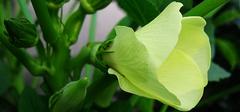 如何种植黄秋葵