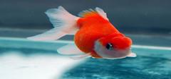 养金鱼对于家居风水的影响