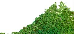 阳台的藤蔓植物有何选择