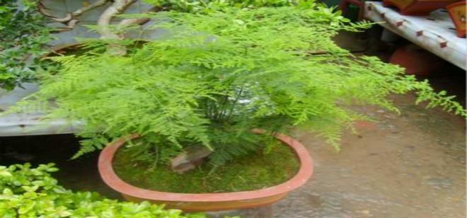 怎样养文竹 如何养好文竹?它的养护方法是什么?