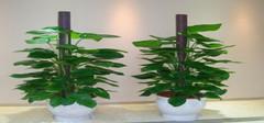 办公室风水植物,办公室应摆放哪些植物