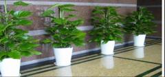 办公室植物的摆放与职位的关系