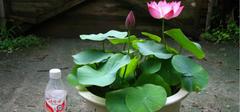 碗莲的种植技巧