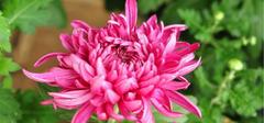 养殖菊花时,我们应该注意什么?