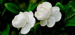 栀子花的养殖小窍门
