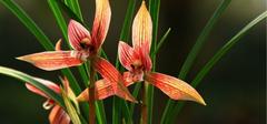 种植兰花的注意事项是什么?