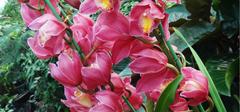 大花蕙兰的种植技巧是什么?
