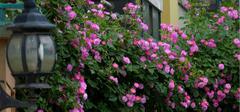 种植蔷薇花的技巧有哪些?