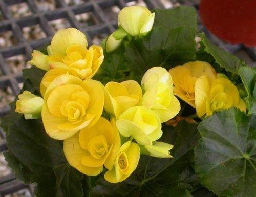 渲染餐厅好风水之黄康乃馨