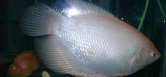 养护招财鱼所要注意的风水事项