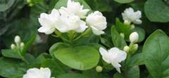 【养花知识】茉莉花的养殖方法