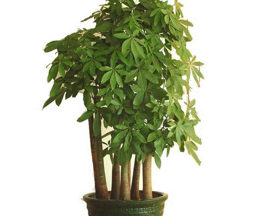 发财树的养殖方法与注意事项