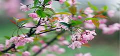 海棠花图片 海棠花种类