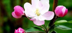 【海棠花图片】,海棠花的养殖方法!