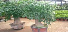 发财树的养殖方法与注意事项,全面!