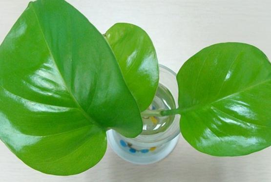 水培绿萝养殖