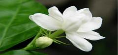 茉莉花的养殖方法    好一朵美丽的茉莉花!