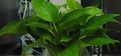 水培绿萝养殖,叶子发黄怎么办?