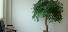 幸福树的养殖技巧有哪些?