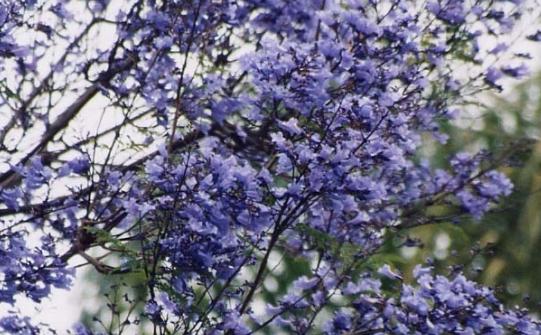 园林植物蓝花楹介绍