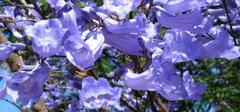 园林植物蓝花楹介绍,全了!