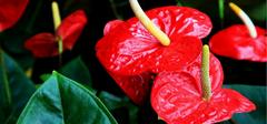 红掌的种植要点有哪些?